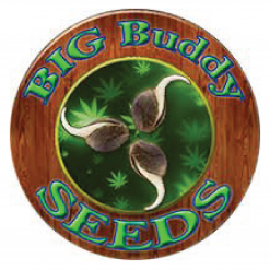 BIG BUDDY SEEDS